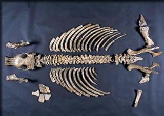 パレオパラドキシア標本全体